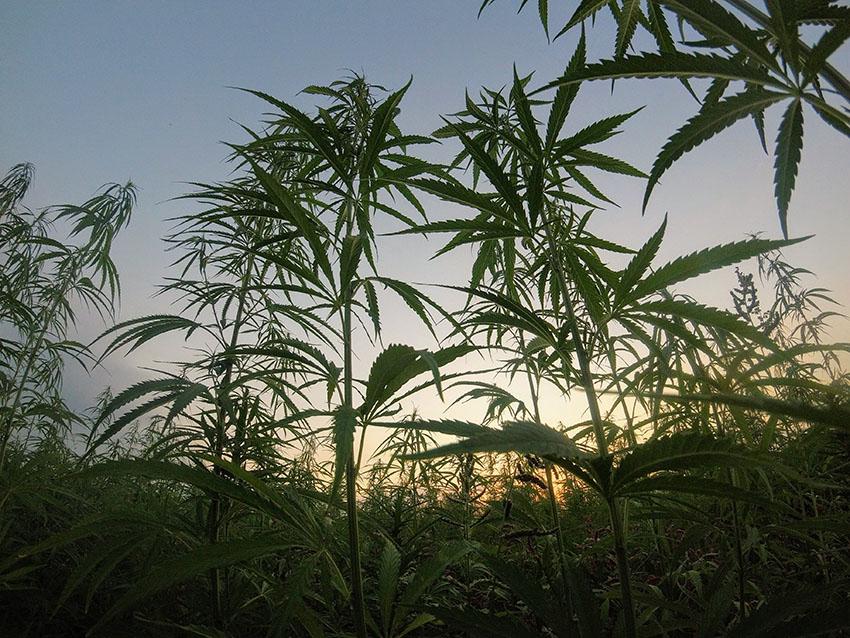 Graines de cannabis d'extérieur