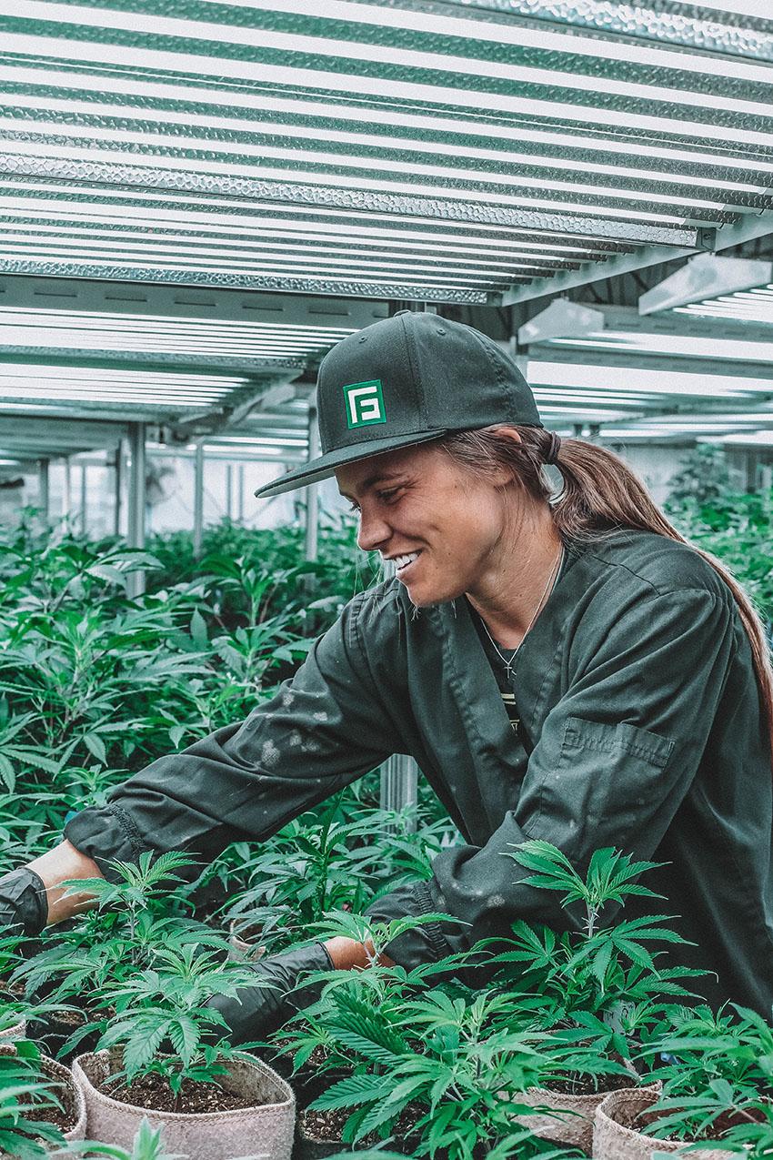 Les Graines de cannabis régulières
