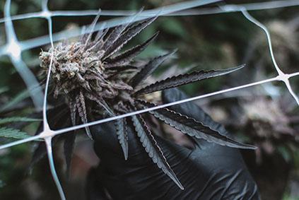 Graines de cannabis Sativa