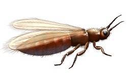 Les thrips