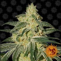Afghan hash plant