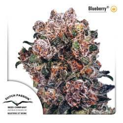 Blueberry Féminisée