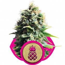Pineapple Kush féminisée