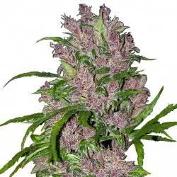 Purple Bud féminisée autofloraison