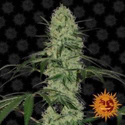Tangerine Dream Féminisée Autofloraison - 5 graines